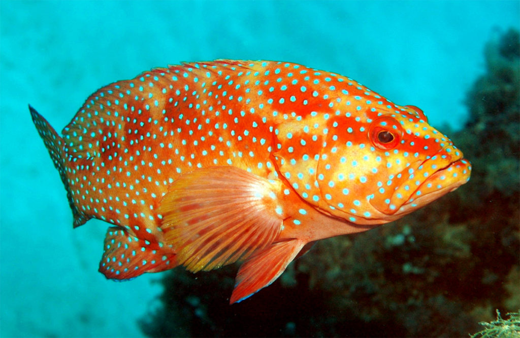 Article image for The intestinal microbiota in leopard coral grouper