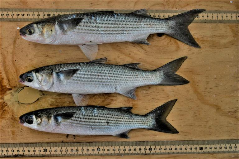 Article image for Las dietas a base de lisas rayadas son prometedoras como ingrediente de alimentos acuícolas