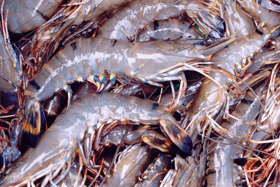cotton shrimp disease