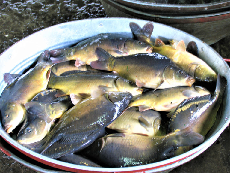 Article image for Low-tech aquaponic production of European carp and leafy vegetables