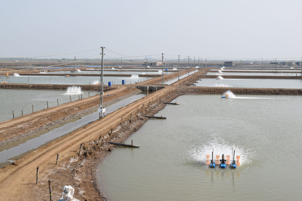 Article image for Can India sustain its farmed shrimp boom?