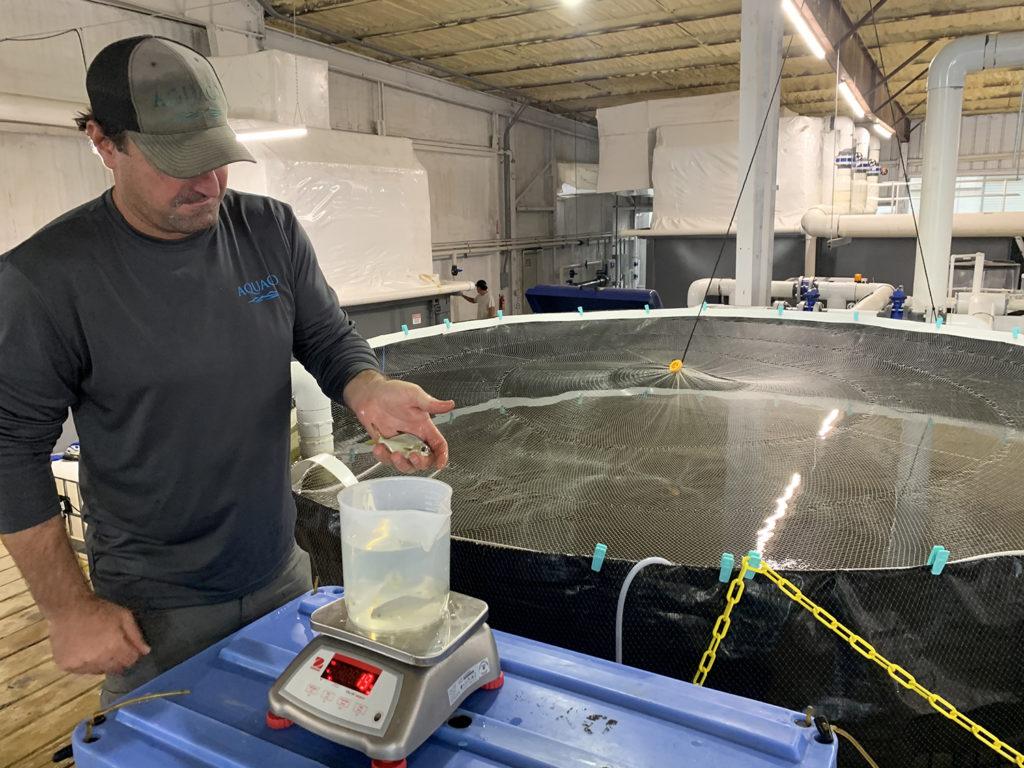 Article image for Adelante a toda velocidad para granja RAS de pámpano de Florida