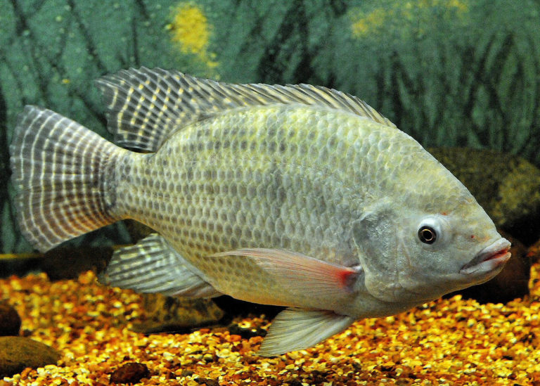 Article image for Evaluating Nile tilapia, giant freshwater prawns in biofloc and RAS