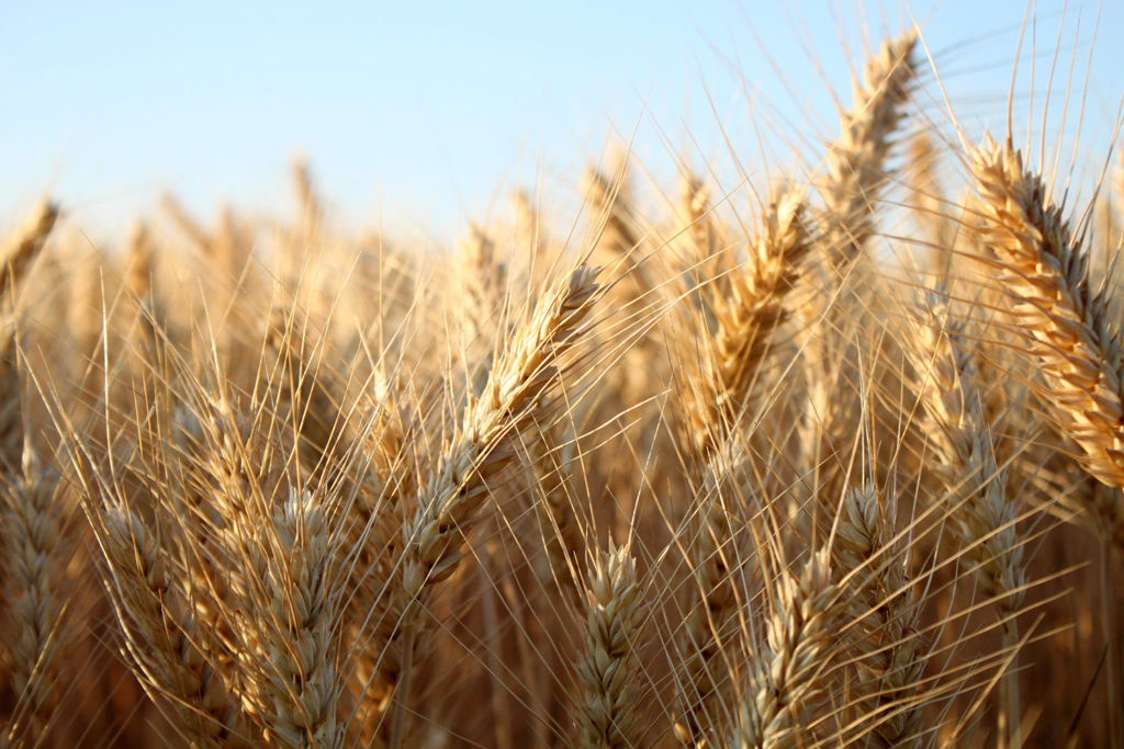 Article image for Empresa de Montana pone la cebada en el menú de ingredientes alternativos de alimentos