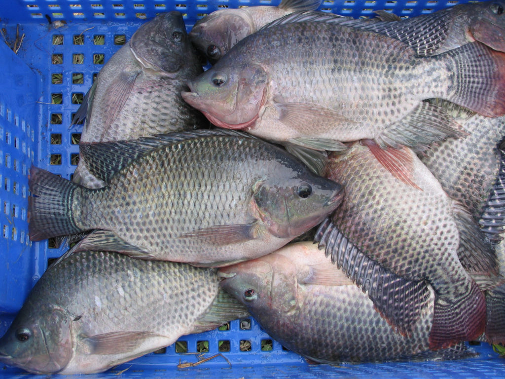 Article image for Effect of dietary salt on Nile tilapia