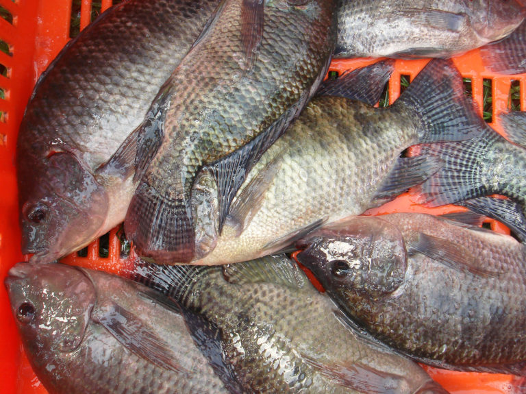 Article image for Characterizing the microbial community of farmed Nile tilapia in Colombia