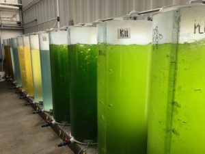 making algae