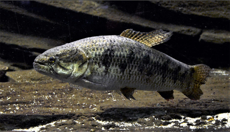 Article image for Evaluating the aquaculture potential of the neotropical fish trahira