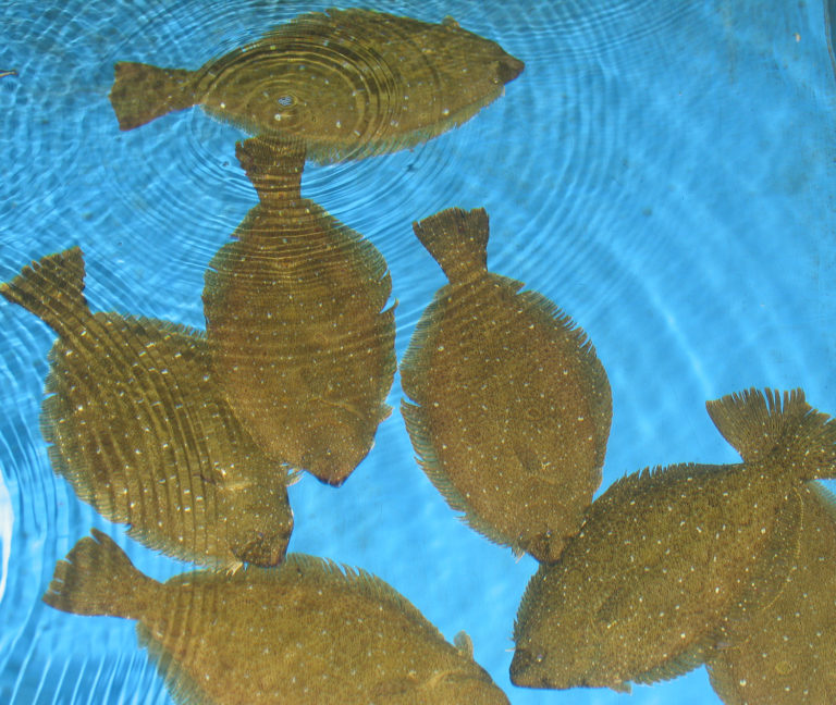 Article image for Dietary effect of low-fishmeal diets on gut microbiota in olive flounder