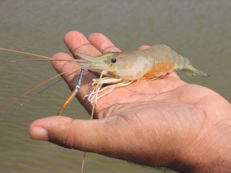 giant freshwater prawns