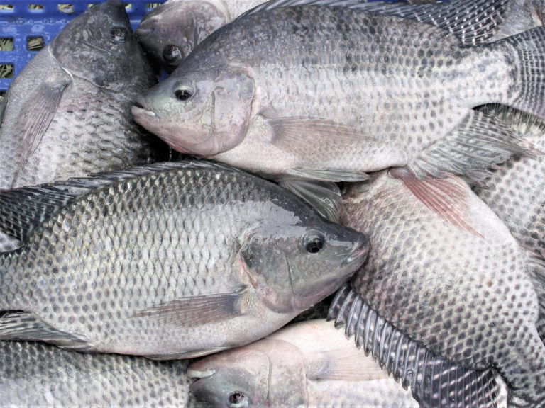 Article image for Evaluating genetic parameters for resistance to Tilapia Lake Virus in Nile tilapia