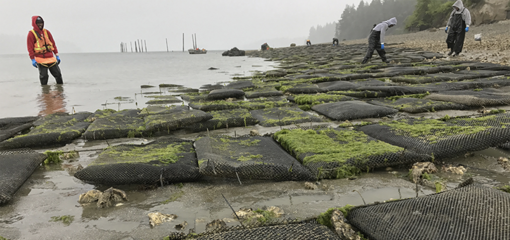 Article image for COVID-19 has the West Coast shellfish sector on hold