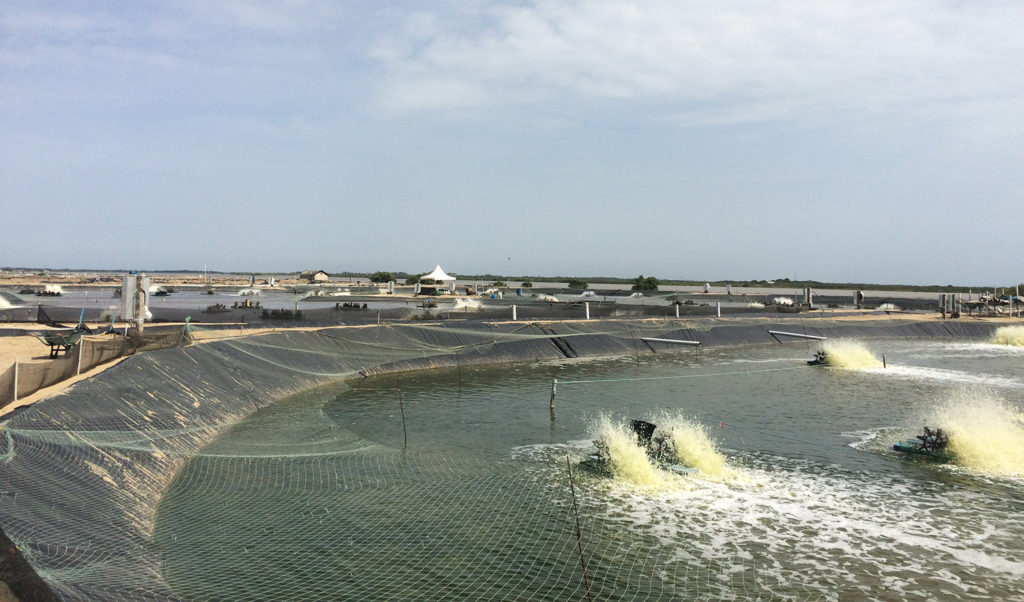Article image for India's shrimp industry adapts to COVID-19 restrictions