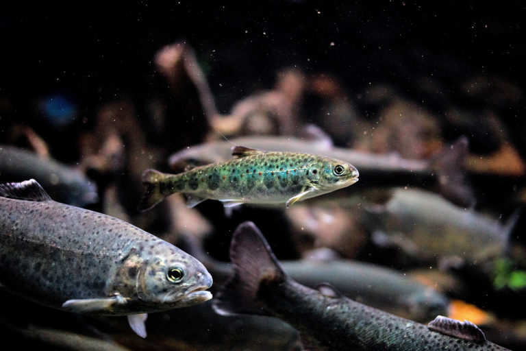 Article image for Evaluating brown seaweed supplementation in feed for Atlantic salmon smolts