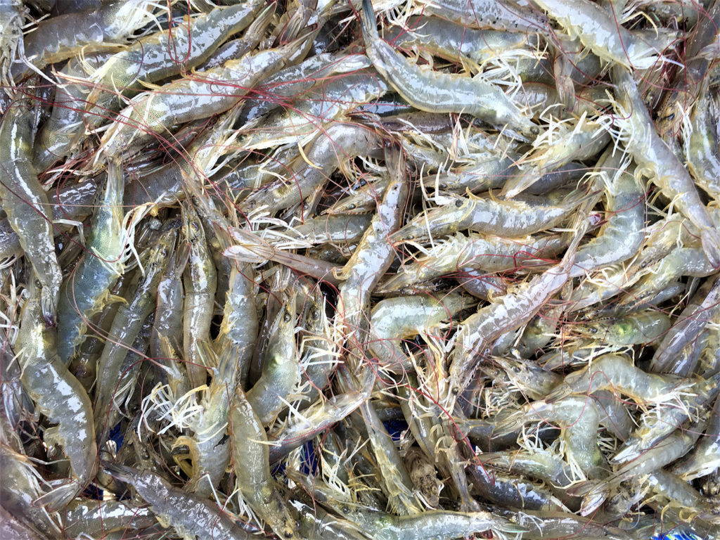 Article image for Effect of Streptomyces probiotics on gut microbiota of Pacific white shrimp
