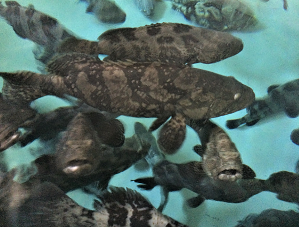 Article image for Replacing fishmeal with soy protein concentrate in juvenile pearl gentian grouper diets