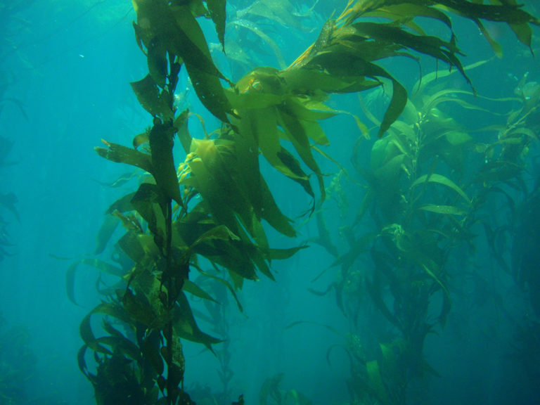 Article image for Evaluating kelp and maize meals as biofloc nucleation sites for tilapia fingerlings
