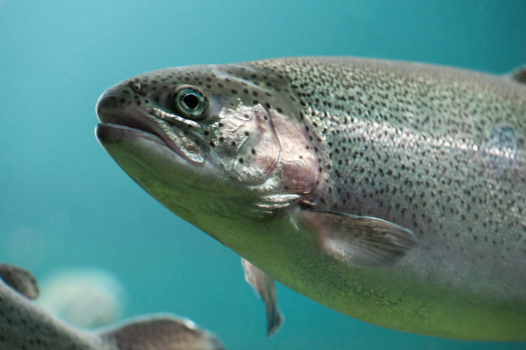Article image for Switch to steelhead has Cooke on a new path in Puget Sound