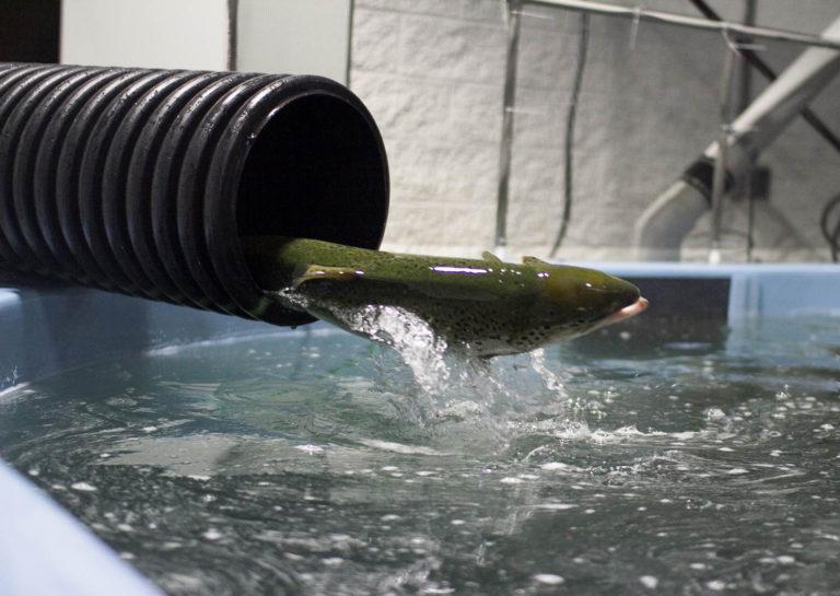 Article image for Los esfuerzos para abordar los sabores desagradables en peces de RAS están fuera de serie