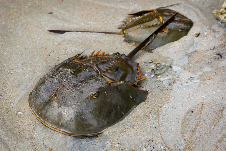 Article image for Can farming horseshoe crabs help the COVID-19 cause?