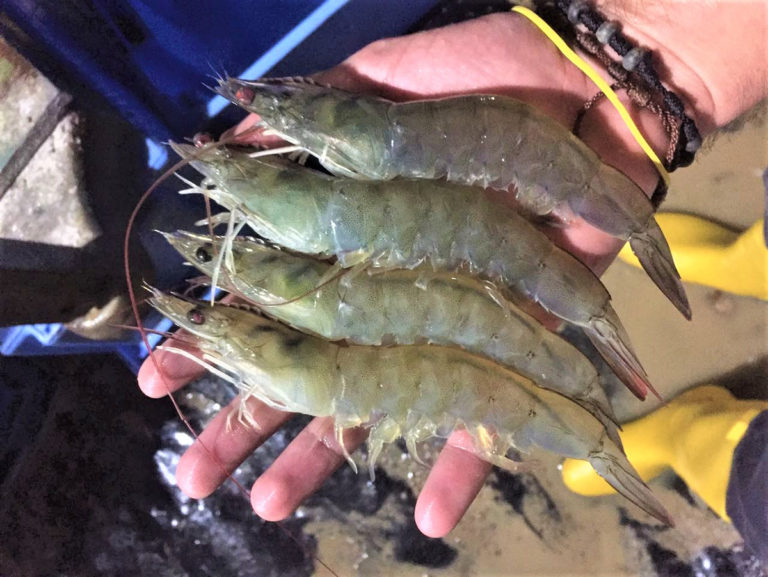 Article image for Feed competition reduces heritable variation for weight in Pacific white shrimp