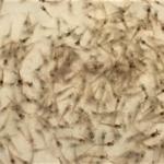 Dynamics of bacterial communities in Pacific white shrimp larvae