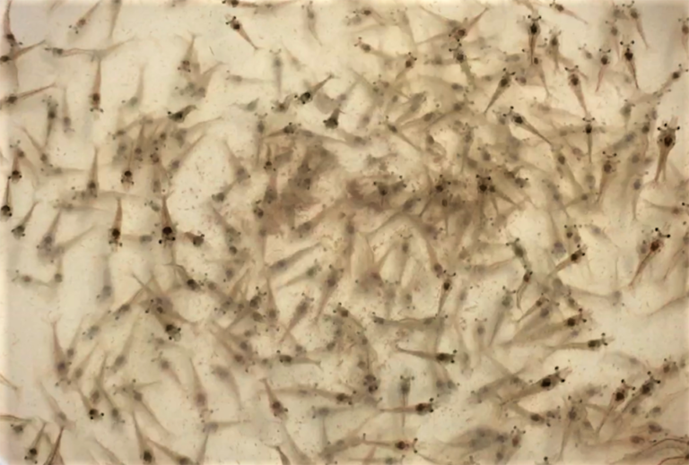 Article image for Dynamics of bacterial communities in Pacific white shrimp larvae