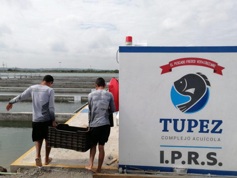 Article image for Evaluación de la producción comercial intensiva de tilapia del Nilo en IPRS