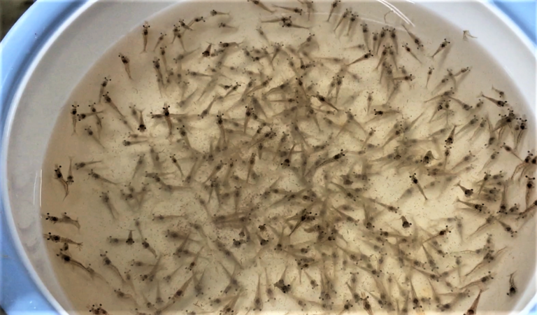 Article image for Evaluating plant protein sources replacing fishmeal in juvenile white shrimp diets