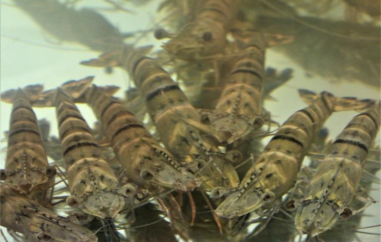 Article image for Acuacultura de camarón y exclusión competitiva de patógenos