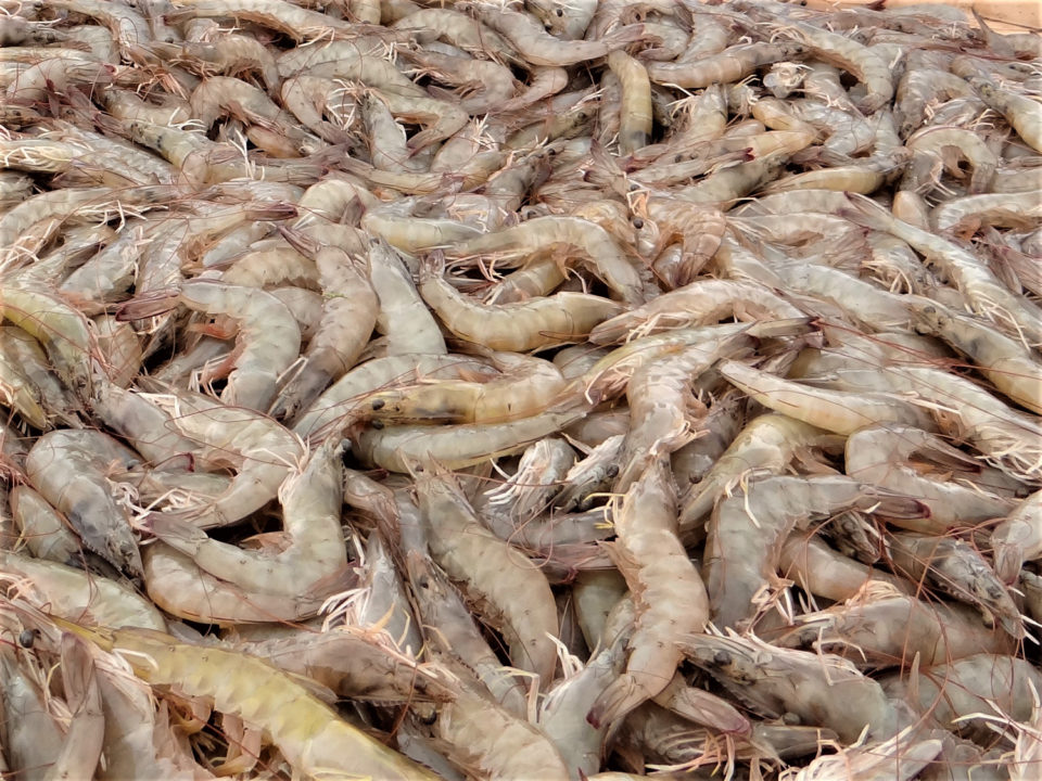 world's top shrimp producer