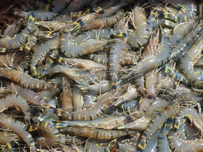 Article image for Cómo India se convirtió en el principal productor de camarón del mundo