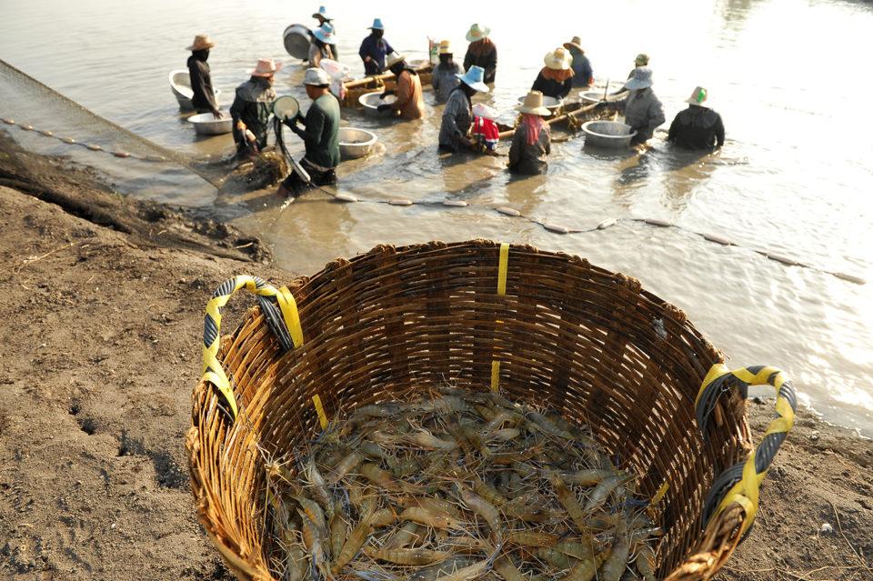 shrimp diseases