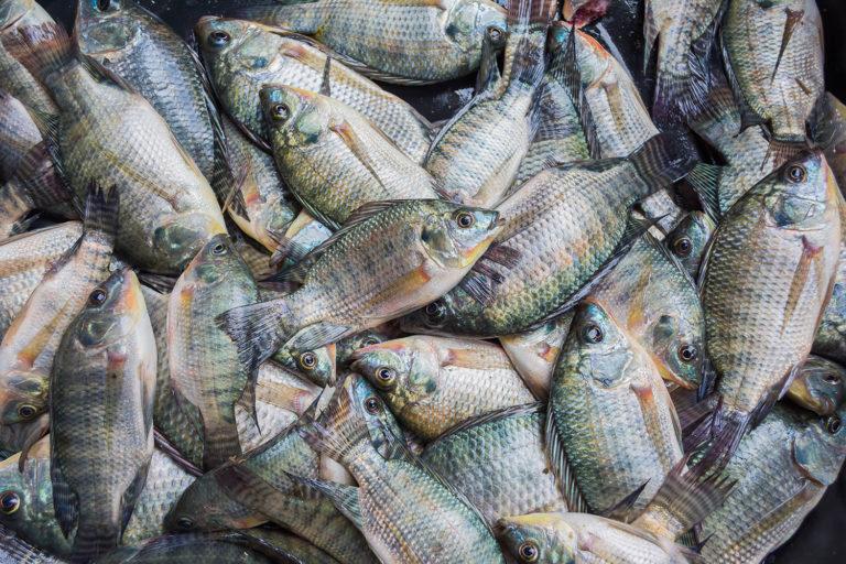 Article image for ¿Puede la acuacultura sensible a la nutrición preparar la piscicultura para el futuro?