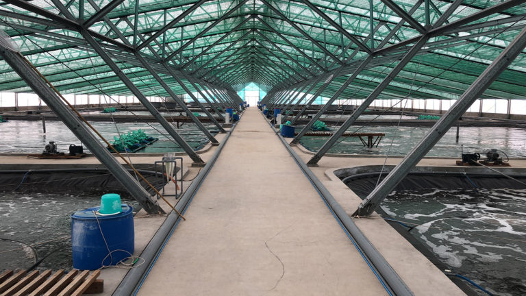 Article image for Collaboration drives innovations in super-intensive indoor shrimp farming