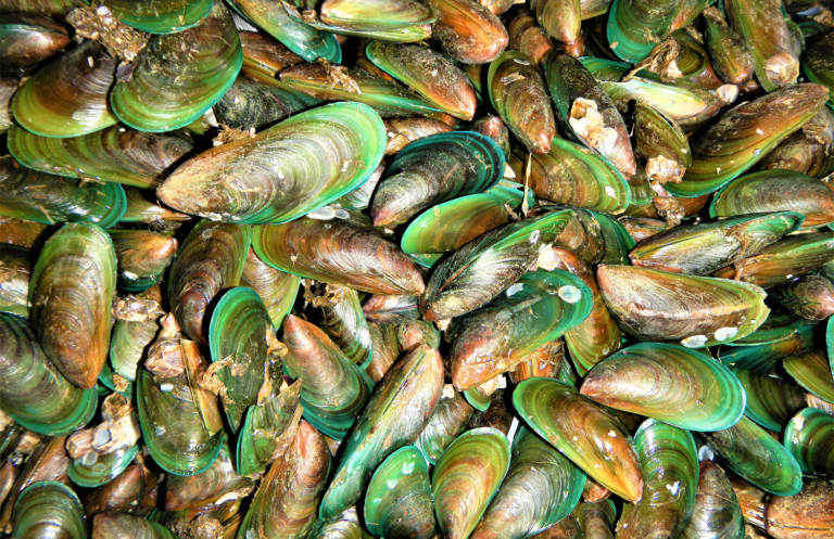 Article image for Green mussel culture using longlines and traditional stake methods in Indonesia
