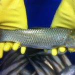 Evaluating effects of dietary soybean isoflavones in grass carp