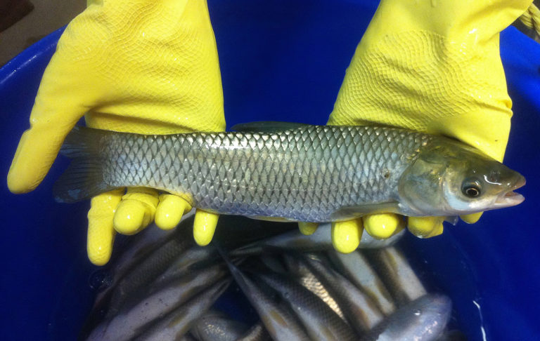 Article image for Evaluating effects of dietary soybean isoflavones in grass carp