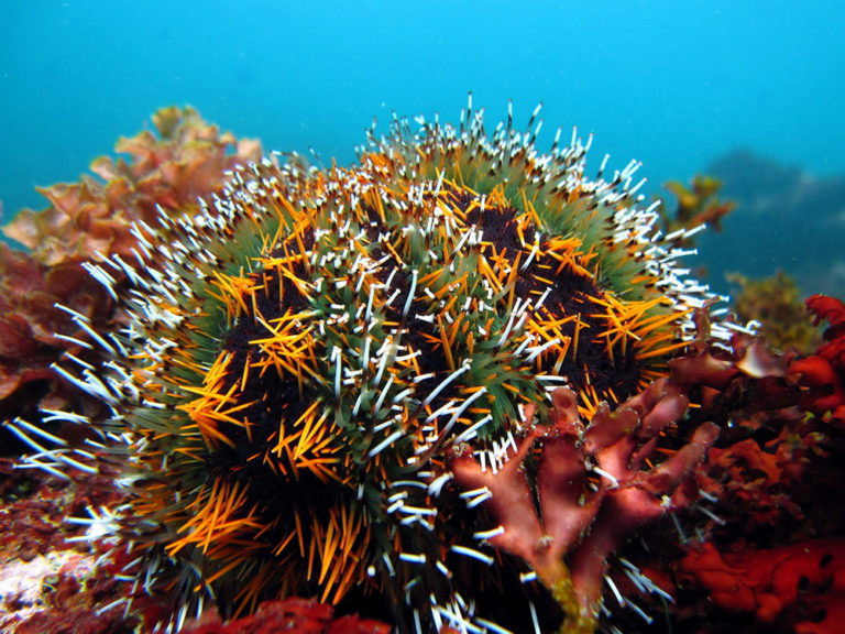 Article image for Evaluating seaweed, formulated diet on growth, gonad quality of sea urchins