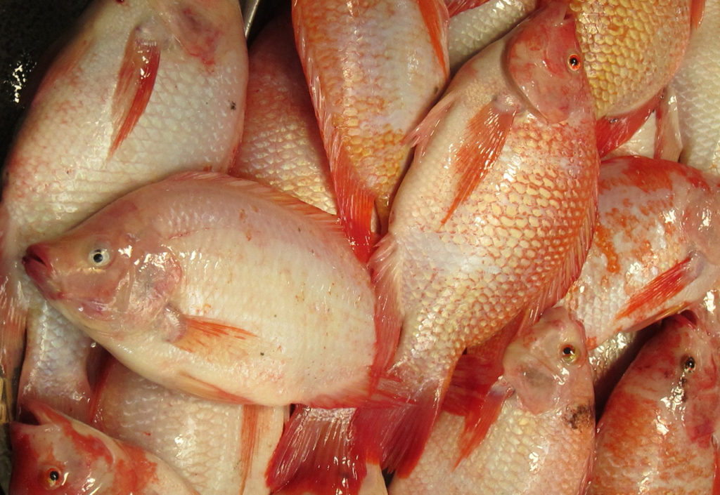 Article image for Comparing microalgae-blend diets to reference diet for Nile tilapia