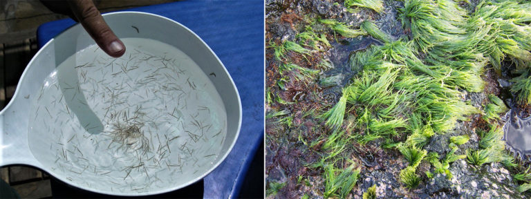 Article image for Use of a filamentous green alga and a microsnail as feed for black tiger shrimp