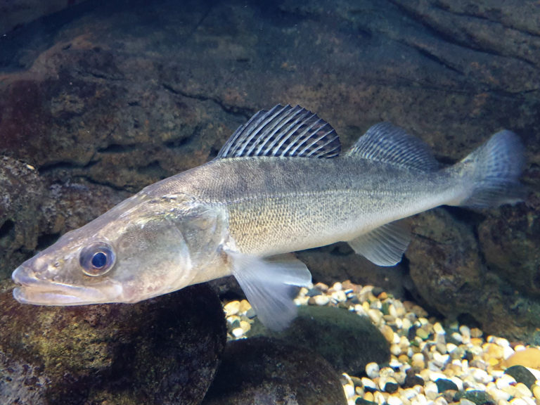 Article image for Polyculture of pikeperch juveniles in recirculating aquaculture systems