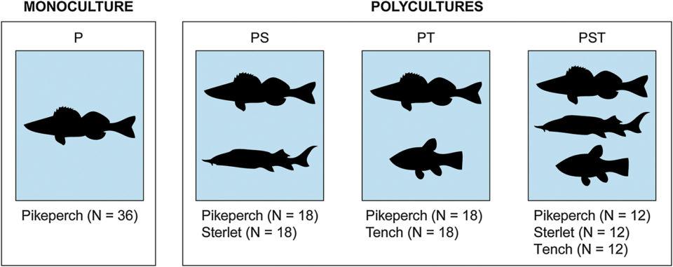 pikeperch