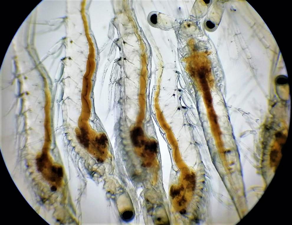 Article image for Vibrio metabólicamente activo en el tracto digestivo del camarón postlarval