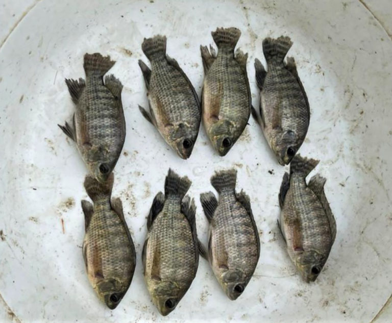 Article image for Evaluation of yeast-fermented poultry byproduct meal in Nile tilapia