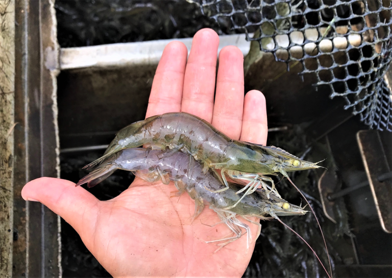Article image for Response of Pacific white shrimp to various diets demand-fed with passive acoustic feeders