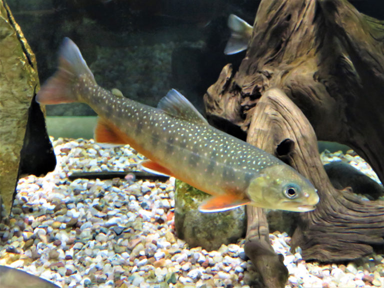 Article image for Broodstock management and early hatchery rearing of Arctic charr