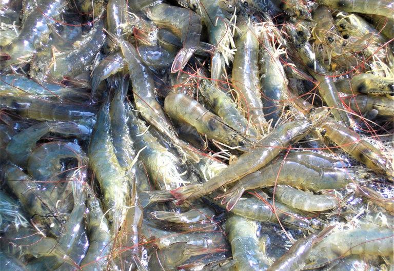 Article image for Efecto de los oligosacáridos de manano en la microbiota y la productividad del camarón blanco del Pacífico en Ecuador