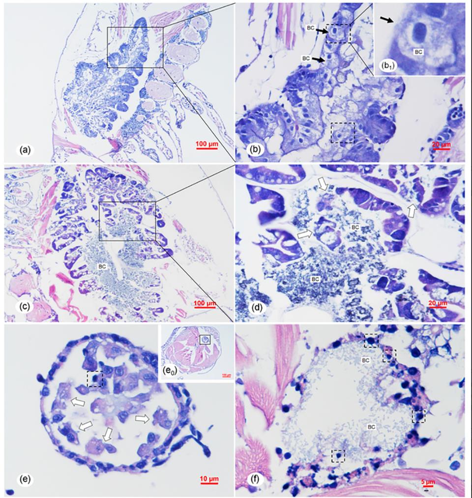 Translucent Postlarva Disease