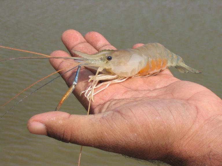 Article image for Equipos de genómica y alimentos acuícolas apuntan a mejorar la acuacultura del camarón de agua dulce